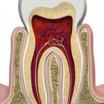 Die Anatomie des menschlichen Zahns